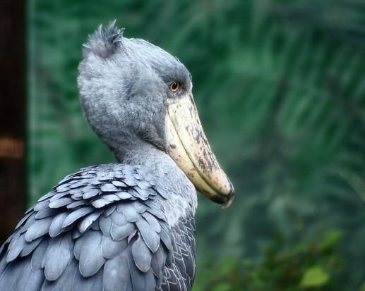 الطائر الظريف ابو مركوب (حذاء النيل)