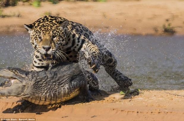 مواجهة شرسة بين نمر وتمساح ياترى من سينتصر !