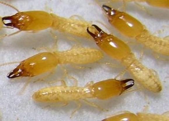تأثير تناول النمل في علاج التهاب المفاصل !!!! 212322014617993.jpg