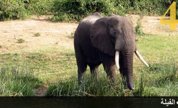 تعرف على الحيوانات الأكثر ذكاء في العالم بالصور 4.jpg