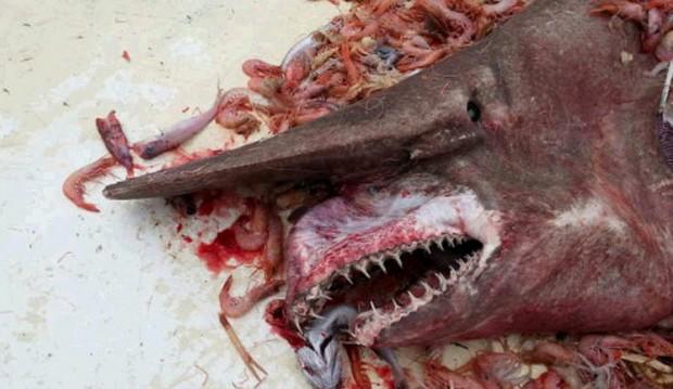 صياد جمبري يمسك بـ العفريت .. القرش الأبشع والأشرس 555.jpg