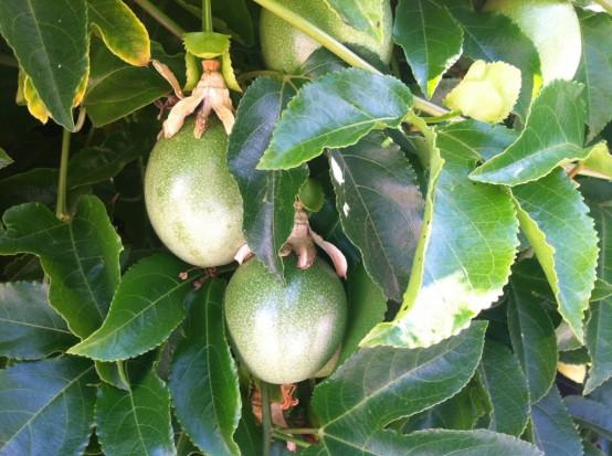 ما تجهلونه عن الـ Passion Fruit PassionFruit.jpg